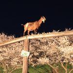 花見はヤギと夜桜? 成田ゆめ牧場4日間限定夜桜ライトアップ