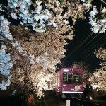 """京都""""桜のトンネル""""「夜桜電車」で花見はいかが"""